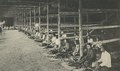 KITLV - 95140 - Kleingrothe, C.J. - Medan - The stringing of tobacco in a drying barn on the plantation Medan of the Deli Company in Deli - 1905.tif