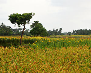 Northern Province, Sri Lanka - Farm land in Kandarodai