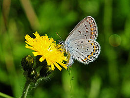 Karner blue butterfly on hawkweed.jpg