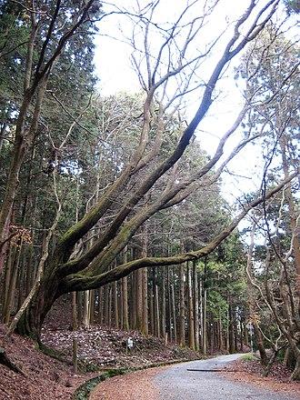 Prunus × yedoensis - Image: Kasugayama Forest, largest cherry