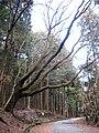 Kasugayama Forest, largest cherry.jpg