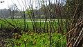 Keizerskronen (Fritillaria imperialis).jpg
