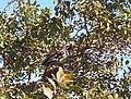 Kererū in guava tree.JPG