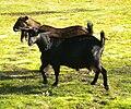 Kinder Goat Herd.jpg