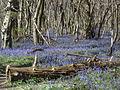 King's Wood in Bluebell season 05.JPG