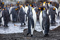 King Penguins on South Georgia Island.jpg