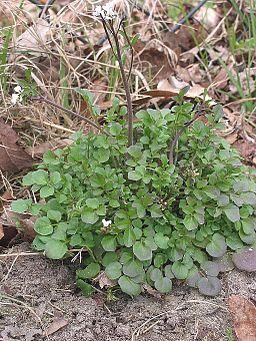 Kleine veldkers Cardamine hirsuta plant