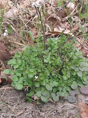 Plant Identification Mid Atlantic Winter Weeds 1 Wikiversity