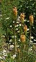 Kniphofia uvaria 'Peaches and Cream' (2005-0323-A).JPG