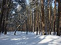 Koniec zimy w połowie marca - Wolica las - 06 - panoramio.jpg