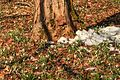 Kvetoucí sněženky v PP Sněženky ve Vysokém lese 28.jpg