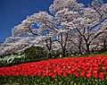 Kyoto, 桜, sakura, Botanical Garden - panoramio (1).jpg