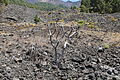 La Palma - El Paso-Fuencaliente - LP-2 - Lava of El Charco + Senecio kleinia 01 ies.jpg