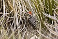 Ladder-backed Woodpecker (Picoides scalaris) on mojave yucca (20730957142).jpg