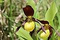 Lady's-Slipper Orchid - Cypripedium calceolus (14204918186).jpg
