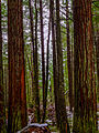 Lady Bird Johnson Grove - Redwood State Park, California (22773949741).jpg