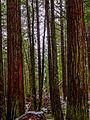 Lady Bird Johnson Grove - Redwood State Park, California (22773949741).jpg