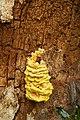 Laetiporus sulphureus (29035593173).jpg