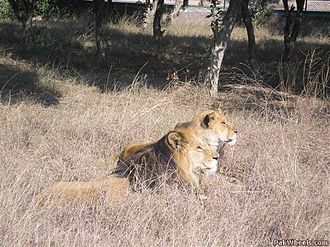 Lahore Zoo - A pair of lions at Lahore Zoo Safari