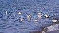 Lake Iznik Seagulls.jpg