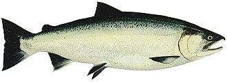 Aquaculture of salmonids - Male ocean phase Coho salmon