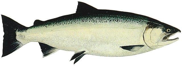 File lake washington ship canal fish ladder pamphlet for Silver lake washington fishing