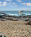 Lamberts Bay Bird Island.jpg