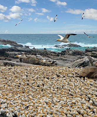 Bird colony - The Bird Island Nature Reserve in Lambert's Bay, Western Cape, South Africa.