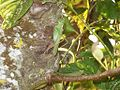 Langosta posada en un árbol.JPG