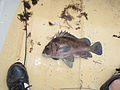 Large snapper grouper caught in Gambia.jpg