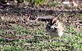 Lark sparrow - Flickr - GregTheBusker.jpg