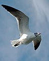 Larus atricilla -Kemah, Texas, USA -flying-8a.jpg