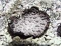 Lasallia pustulata.002 - Islas Cies.JPG