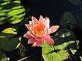 Late Lilly Lights Up My Pond - panoramio.jpg