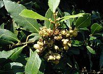 Laurus nobilis: Flowers and leaves