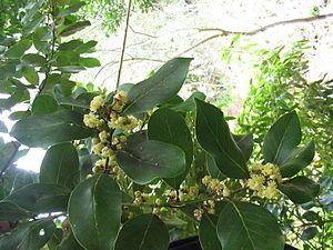 Laurus azorica - Image: Laurus azorica (Flowers)