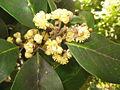 Laurus azorica (Flowers) 2.jpg