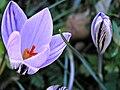 Lavatoggio-Crocus corsicus 1.jpg