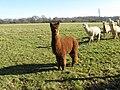 Leader of the pac (Alpacas that is) - geograph.org.uk - 1162241.jpg