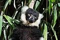Lemur (36452919520).jpg