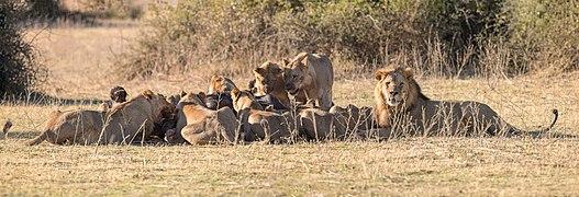 Leones (Panthera leo) deborando un búfalo africano negro (Syncerus caffer caffer), parque nacional de Chobe, Botsuana, 2018-07-28, DD 94-96 PAN.jpg