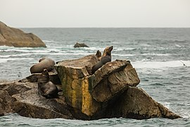 Leones marinos de Steller (Eumetopias jubatus), Bahía de Aialik, Seward, Alaska, Estados Unidos, 2017-08-21, DD 82.jpg