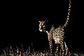 Leopard, Tsavo West (Kenya, Day 2).jpg