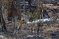 Leopard - Krugerův park - panoramio.jpg