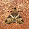 Lepidoptera (15450389433).jpg