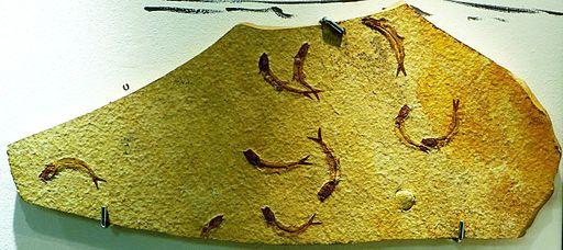 Leptolepides sprattiformis 322333