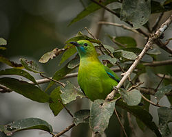 Lesser Green Leafbird (Female).jpg
