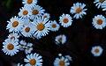 Leucanthemum vulgare (oxeye daisy) - many.jpg