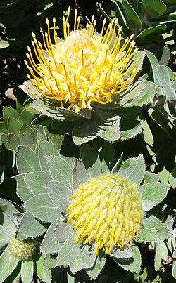 Leucospermum conocarpodendron - Table Mountain 5.JPG