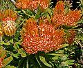 Leucospermum erubescens 3.jpg